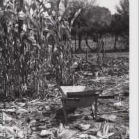 Carriola sul campo, 1980